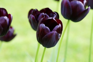 Tulipa Queen of Night - ORG