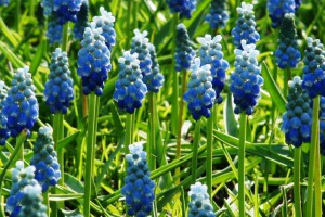 Muscari Lady Blue - ORG