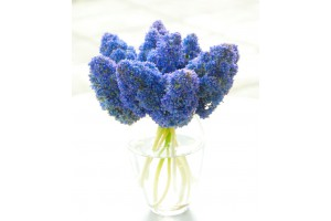 Muscari Fantasy Creation - ORG
