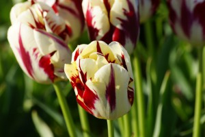 Tulipa Grand Perfection - ORG