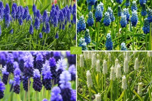 Muscari Mix blue-white - ORG