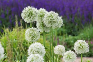 Allium Mount Everest - ORG