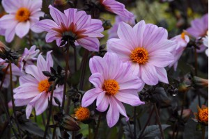 Dahlia Bishop of Leicester...