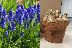 Potted blue grape hyacinths...