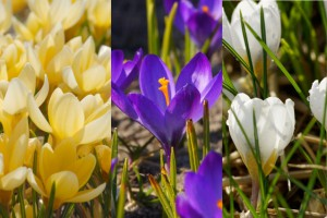 Crocus species Mix - ORG