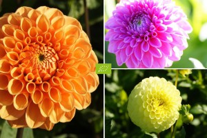 Ball Dahlia Mix - ORG