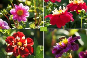 Dahlia Bee Mix Red-Pink 4...