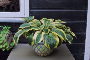Hosta 'Wide Brim' - ORG