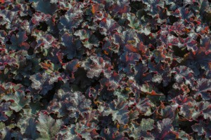Heuchera 'Chocolate...
