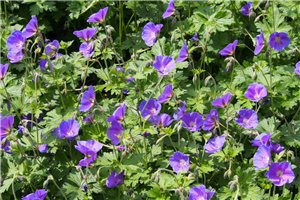 Geranium 'Johnsons Blue' - ORG