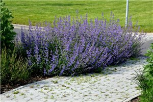 Nepeta Walkers Low - ORG