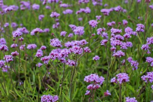 Verbena 'Lollipop' - ORG