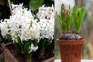 Potted Hyacinth White Pearl...