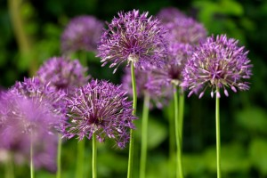 Allium Purple Rain - ORG