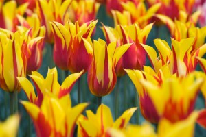 Tulipa Fire Wings - BIO