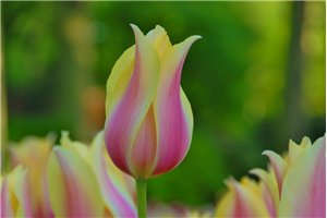 Tulipa Blushing Lady - BIO