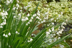 Leucojum Gravitye Giant (summer snow flake)